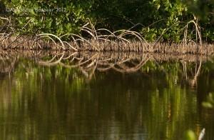 Mangroves, Honduras.